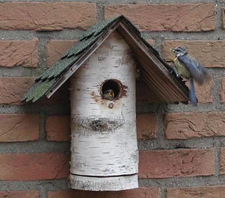 Description: Bluetit chick and parent. Photo by Stan Schaap.