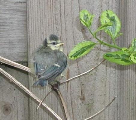 Description: Bluetit chick. Photo by Susan Kramer.