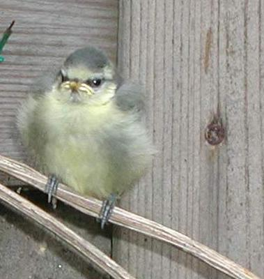 Description: Bluetit chick. Photo by Susan Kramer.