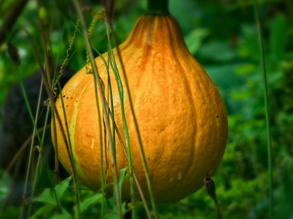 Description: Description: Description: Description: Description: Description: Garden squash and pumpkins; photo copyright Stan Schaap