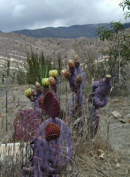 Description: purple cactus atop Meditation Mount, Ojai, California. Photo credit Susan Kramer.