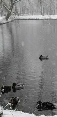 Description: photo credit Susan Kramer; ducks on pond in The Netherlands