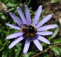 Photo © Stan Schaap, Bee on Blossom