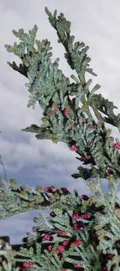 photo credit S. H. Kramer; greenery for Advent wreathe