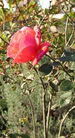 Description: Photo of rose by Susan Kramer