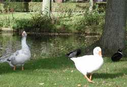 photo credit Susan Kramer, mallards and geese by canal in Holland