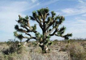 Joshua Tree Forest, California