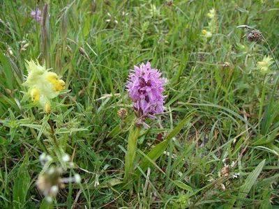 Description: Description: purple orchid and yellow ratelaar; photo credit Stan Schaap