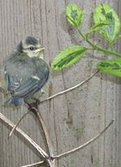 Bluetit chick just out of nest; photo credit Susan Kramer