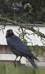 Jack Daw; photo credit Susan Kramer