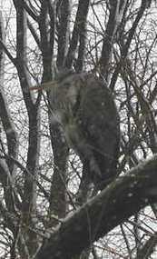 Description: Description: Description: Description: heron in snow storm; photo credit Susan Kramer