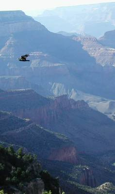 Hawk soaring in Grand Canyon, Arizona. Photo credit Stan Schaap