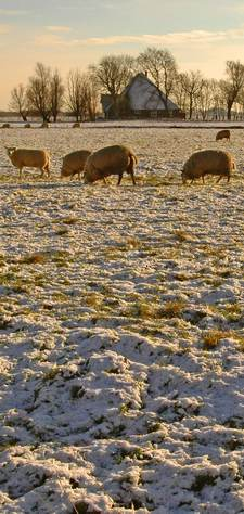 sheep grazing in snow; photo credit Stan Schaap