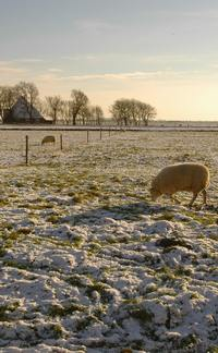 Sheep in winter pasture; photo credit Stan Schaap