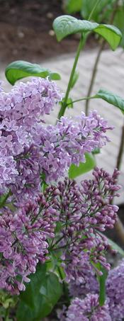 blooming lilac; photo credit Susan Kramer