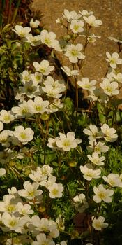 photo credit Susan Kramer; blooming Swiss groundcover, The Netherlands
