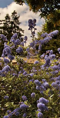 ceonothus; photo credit Susan Kramer
