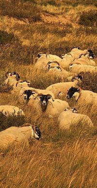 Description: Sheep in The Netherlands by Stan Schaap