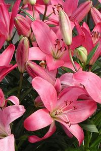 Photo credit Susan Kramer; pink lilies;