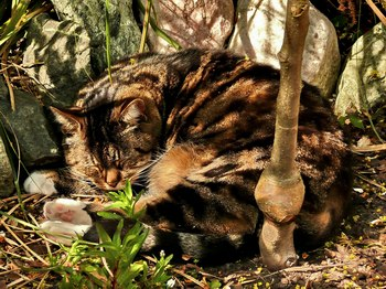 photo credit Susan Kramer; Katje, a tabby in dappled sun